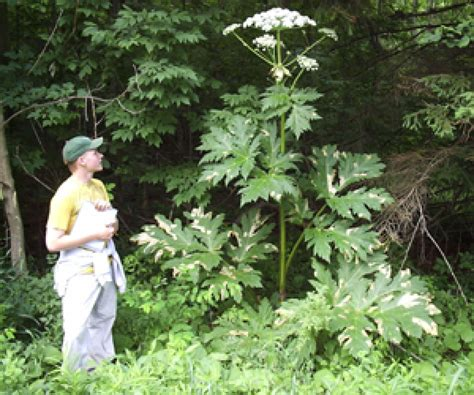 Giant Hogweed Plant May Cause Blindness, Severe Skin