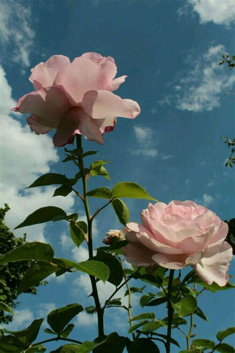 #aesthetic #sky #flowers #nature #background #rose #