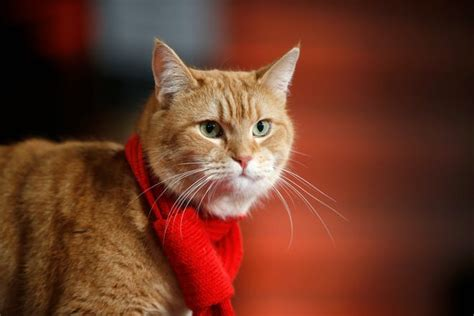 Bob the cat, who inspired James Bowen's 'A Street Cat