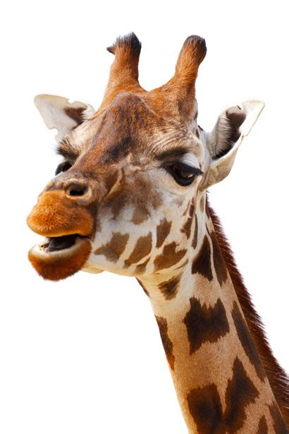 Giraffe Isolated Free Stock Photo - Public Domain Pictures