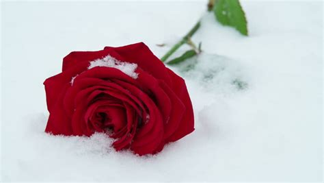 The Rose in the Snow Stock Footage Video (100% Royalty