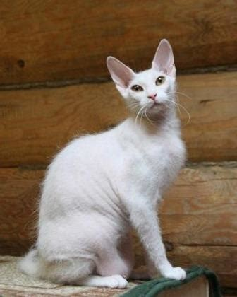 Donskoy Cat Pictures - From Birth to Adulthood