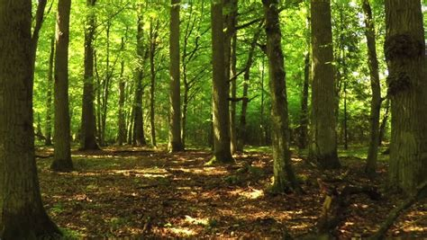 Inside of Summer Forest Stock Footage Video (100% Royalty